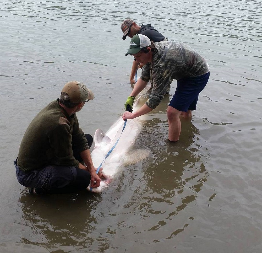 sturgeon, white sturgeon, fraser river sturgeon fishing, bc sturgeon
