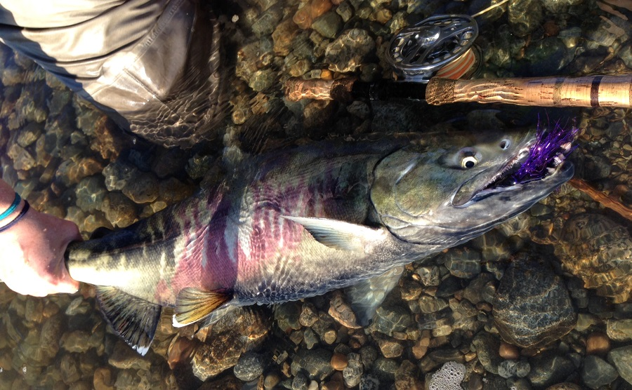 chum-salmon-fly-fishing-fraser-valley-bc