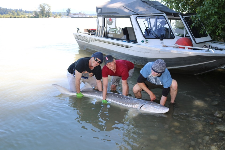 sturgeon fishing, sturgeon fishing bc, sturgeon fishing fraser river, white sturgeon fishing, sturgeon fishing mission, sturgeon guides bc
