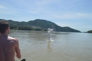 sturgeon fishing, white sturgeon fishing, sturgeon fishing bc, sturgeon fishing canada, sturgeon fishing chilliwack, sturgeon fishing mission, sturgeon fishing guides, sturgeon fishing charters, sturgeon fishing fraser river, white sturgeon fishing canada