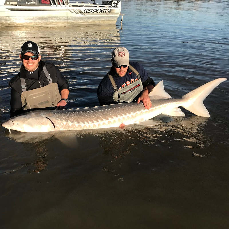best times for sturgeon fishing in bc, best time for sturgeon fishing fraser river, sturgeon fishing, sturgeon fishing bc, sturgeon fishing fraser river, sturgeon fishing guides fraser river, sturgeon fishing vancouver, sturgeon fishing charters